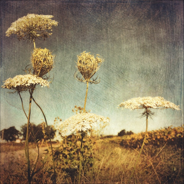 Queen Anne's Lace, mobile photography from this past fall, a pursuit I discounted because it wasn't working on my BIG project. http://instagram.com/melissadjohnston/